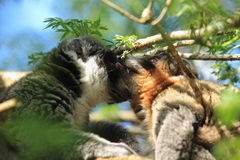 Mongoose lemurs. The coupel of mongoose lemurs Stock Images