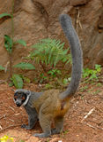 Mongoose lemurs. (Eulemur mongoz) in Madagascar Stock Photography