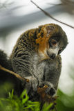 Mongoose Lemurs. Perched in a tree at the zoo Stock Photos