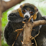 Mongoose Lemurs. Perched in a tree at the zoo Stock Images