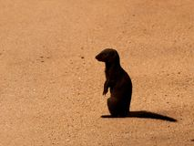 Mongoose. On the lookout on bare sand Stock Images