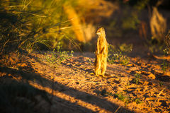 Mongoose on the lookout. A yellow mongoose, standing on the sand in the sunset, looking around Stock Images