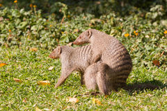 Mongoose love Stock Images