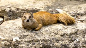 Mongoose lying on a rock in a zoo Stock Images