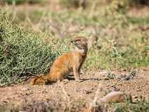 Mongoose. A Mongoose sitting on sand in Southern African savanna Royalty Free Stock Images