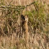 Mongoose. A Mongoose standing upright in grass in Southern African savanna Stock Photography