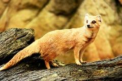 Mongoose. Stock Photo