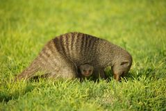 Mongoose mother with child Stock Photography