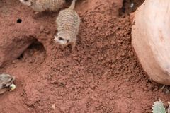 Mongoose on mud Stock Images