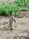 Mongoose in Namibia, Africa Stock Photos