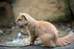 Mongoose Royalty Free Stock Image