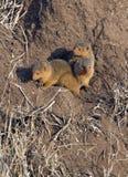 Wild baby mongoose Royalty Free Stock Image