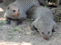 Mongoose Pair. African Mongoose pair relaxing in Africa Stock Images