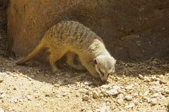Mongoose stock photos