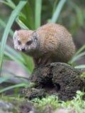 Mongoose. Porrtait of a Mongoose on a fallen  tree Stock Photo