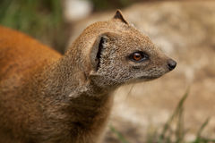 Mongoose portrait Stock Image