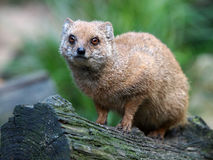 Mongoose. Portrait of a Mongoose standing in a tree Stock Photos