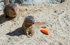 Mongoose Stock Image