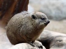 mongoose pygmy Στοκ εικόνες με δικαίωμα ελεύθερης χρήσης