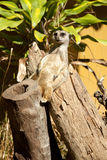 Mongoose relaxing Stock Images