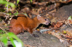Mongoose. Ring-tailed Mongoose (Galidia elegans) in Ankarana N.P., Madagascar Stock Photos