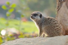 Mongoose on a rock. Cute Mongoose sitting on a rock looking around Stock Photos