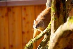 Mongoose stock image