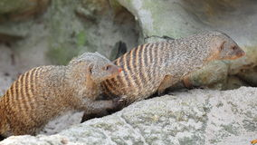 Mongoose searching for food Royalty Free Stock Photos