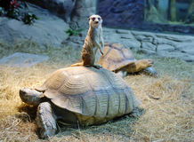 Mongoose sits on a turtle Royalty Free Stock Photos