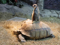 Mongoose sits on a turtle Stock Photos