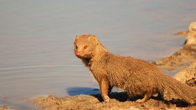 Mongoose, Slender - African mammal Royalty Free Stock Photos