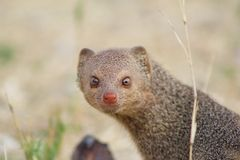 Mongoose, Slender - So pretty Royalty Free Stock Photos