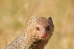 Mongoose, Slender - Snake Eye Portrait. Adult Slender Mongoose sun-bathing before sunset.  Photo taken on a game ranch in Namibia, Africa Royalty Free Stock Photos