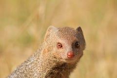 Free Mongoose, Slender - Snake Eye Portrait Royalty Free Stock Photos - 27208968