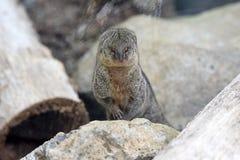 Mongoose. Small mongoose of mauritius island Royalty Free Stock Photos