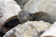 Mongoose. Small mongoose of mauritius island Royalty Free Stock Photo