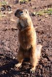 Mongoose squirrel Stock Photo
