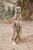 Mongoose Standing Stock Photography