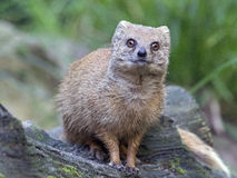 Mongoose. Standing on a fallen tree Royalty Free Stock Photography