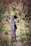 Mongoose standing. Safari in Serengeti, Tanzania, Africa Stock Image