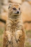 Mongoose standing and staring. Stock Photo