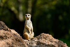 Mongoose. A mongoose, standing under the sunshine Stock Image