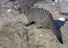 Mongoose striped Stock Photography