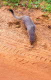 Mongoose and tire trail Royalty Free Stock Images