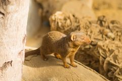 Mongoose on a tree trunk in a wildlife. Park of Belgium Stock Images
