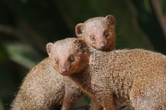Mongoose twins Stock Image