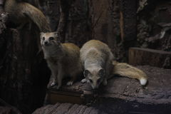 Mongoose. Two nice mongoose in the zoo Stock Images