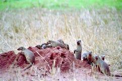 Mongoose unido foto de stock
