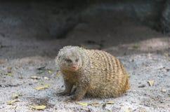 Mongoose unido Fotografia de Stock