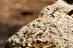 Mongoose unido Foto de Stock Royalty Free